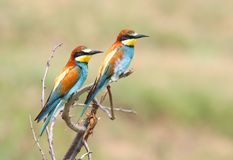 European bee eaters pair Royalty Free Stock Images