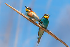European bee-eaters pair Stock Photography