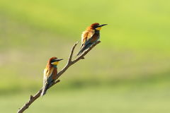 European bee eaters perched on branch Stock Photo