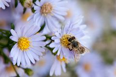 European bee on flowers royalty free stock images
