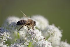 Bee on white flower Stock Photography