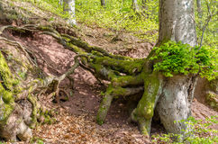European beech. With exposed roots Royalty Free Stock Photography