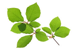 European beech & x28;Fagus sylvatica& x29;. Little twig with leaves of European beech & x28;Fagus sylvatica& x29; isolated against white background Royalty Free Stock Image