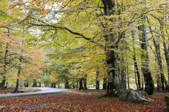 European beech forest Royalty Free Stock Photography