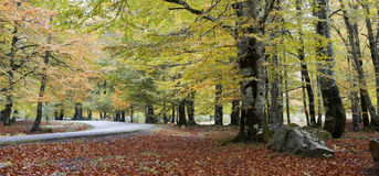 European beech forest Stock Image