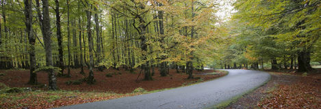 European beech forest Stock Photo