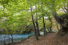 European beech forest Stock Photography