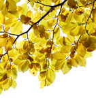 European beech leaves Stock Images