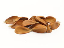 European beech seeds Stock Photography