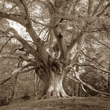 European Beech Tree, sepia tone Stock Photos