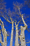 European Beech tree. Soaring beech trees against the blue sky Stock Photo
