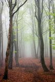 European beech wood Royalty Free Stock Photo