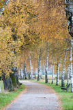 European Birch Path II Stock Photography