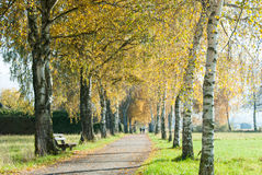 European Birch Path III Royalty Free Stock Image