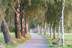 European Birch Path IV Royalty Free Stock Photography