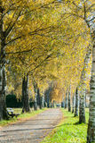 European Birch Path Royalty Free Stock Image