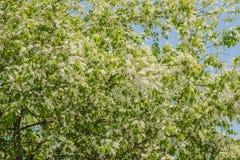 European Bird Cherry in bloom at spring garden. Stock Photos