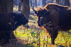 European bison. Prioksko-Terrasny Nature Biosphere Reserve with European bisons in Serpukhov District, Russia Royalty Free Stock Photo
