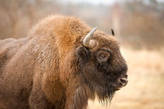 European Bison Stock Images