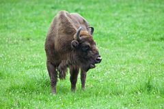 European bison. On a meadow Royalty Free Stock Photos