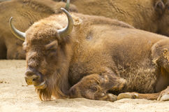 European Bison. In a zoo in Barcelona Stock Photos