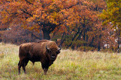European bison Royalty Free Stock Photos