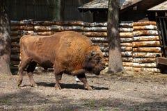European bison Royalty Free Stock Image