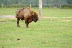 European Bison Stock Image
