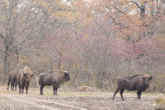 European Bison Stock Images
