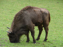 European Bison Royalty Free Stock Image