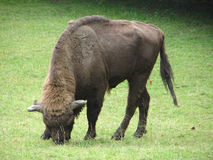 European Bison Stock Photo