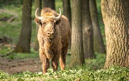 The European bison, also known as wisent or the European wood bison. The European bison is the heaviest surviving wild land animal in Europe; a typical European Royalty Free Stock Photography
