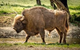 The European bison, also known as wisent or the European wood bison. The European bison is the heaviest surviving wild land animal in Europe; a typical European Stock Image