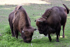 European bison. Also known as wisent or european wood bison grazing in the meadow Stock Images