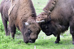 European bison. Also known as wisent or european wood bison grazing in the meadow Stock Photo
