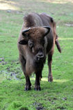 European bison. Also known as wisent or european wood bison grazing in the meadow Royalty Free Stock Images