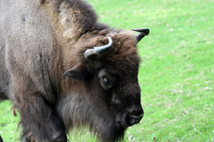 European bison. Also known as wisent or european wood bison grazing in the meadow Royalty Free Stock Photography