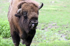 European bison. Also known as wisent or european wood bison grazing in the meadow Stock Photography