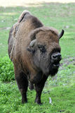 European bison. Also known as wisent or european wood bison grazing in the meadow Stock Photos