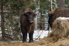 European Bison Aurochs, Bison Bonasus  Licks Itself With Tongu Stock Photo