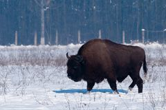 European Bison (Bison bonasius) in Winter Royalty Free Stock Photography