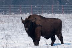 European Bison (Bison bonasius) in Winter Stock Image