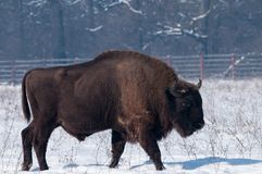 European Bison (Bison bonasius) in Winter Stock Photography