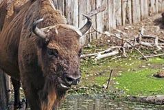 European bison (Bison bonasus) Stock Images