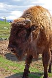 EUROPEAN BISON, Bison bonasus Royalty Free Stock Photography
