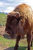EUROPEAN BISON, Bison bonasus Royalty Free Stock Photography