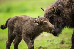 Free European Bison (Bison Bonasus) Stock Photos - 55958593