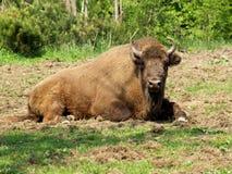 European bison - Bison bonasus. Bison unwinding stock image