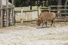 European bison Bison bonasus Stock Images