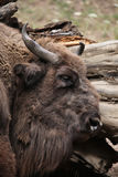 European bison (Bison bonasus). Stock Images